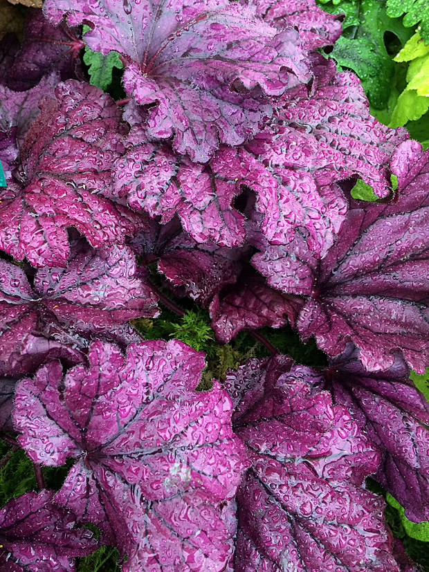 Bright purple leaves with darker veins