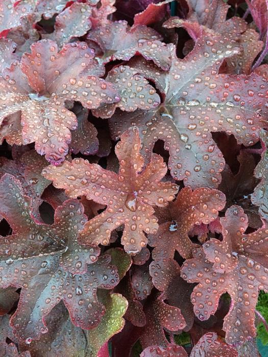 Bronzy heuchera leaves with pinker reverses