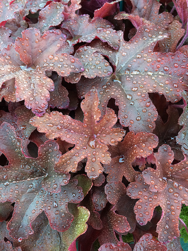 Bronzy heuchera leaves with pinker reverses