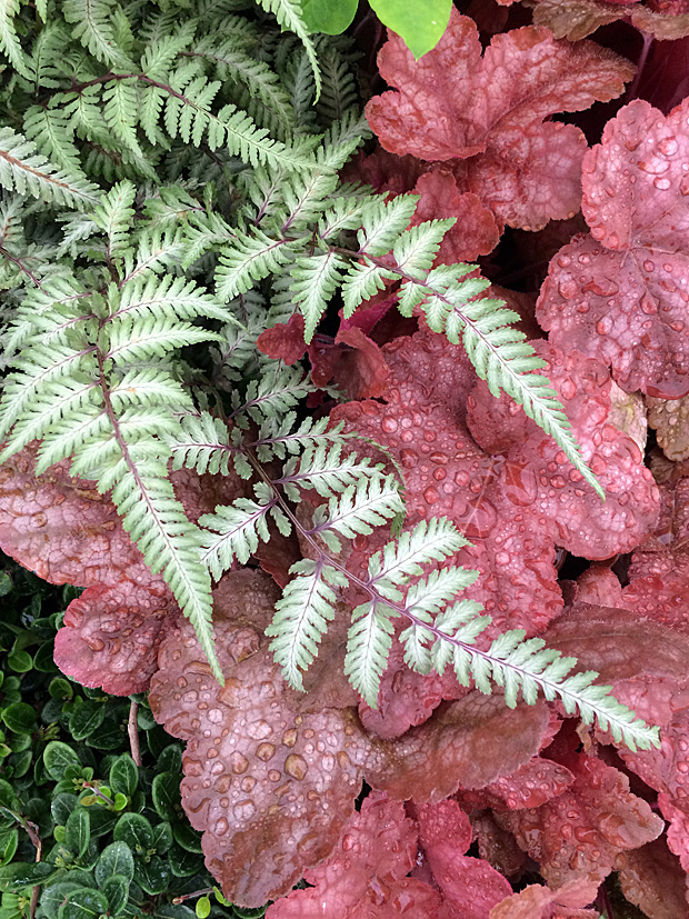 Pinkish red heuchera with painted fern