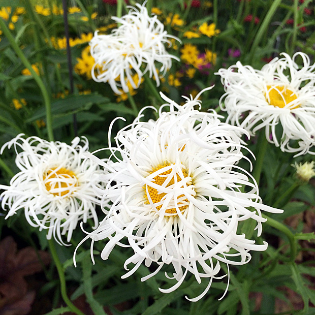 Large daisy flowers with elongated, curly petals