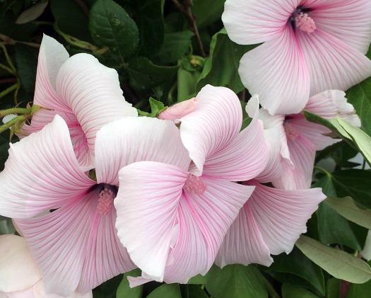 White mallow, striped pink