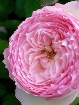 Close up of a double rose showing its overlapping petals