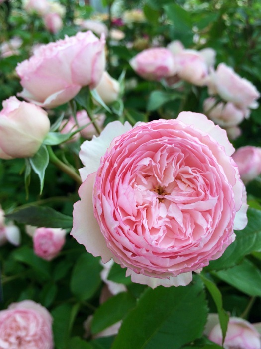 Pink rose with star shape centres