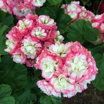 Geranium with double flowers edged in pink