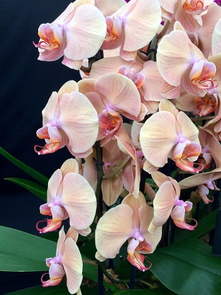 Pale peach orchid with veins and darker lip