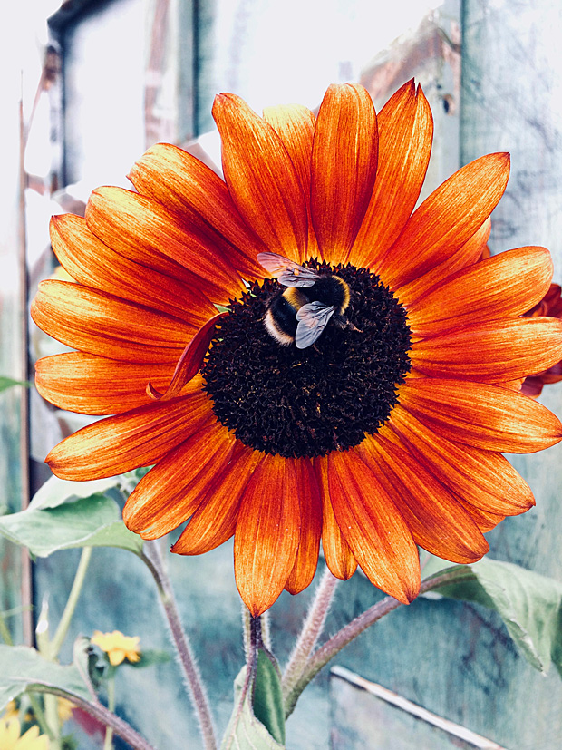 Orange sunflower being foraged by a (real) bee