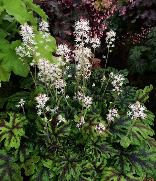 Tiarella with pronounced dark markings on the green leaves