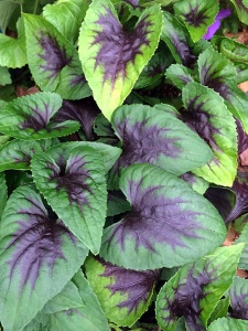 Violet with dark violet pattern on the leaves