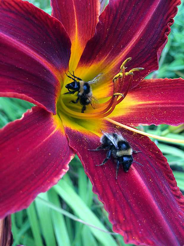 Two bees in a deep crimson daylily