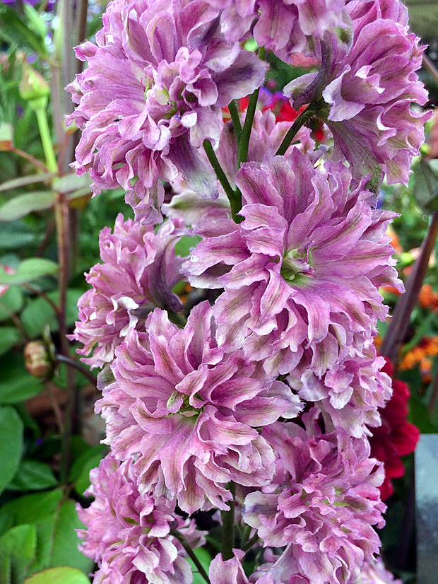 Delphinium with pink double flowers, streaked green