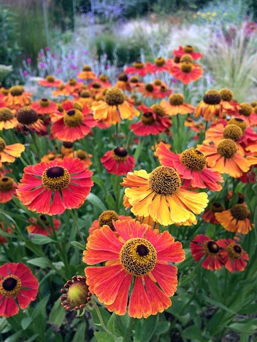 Orange and yellow daisy flowers