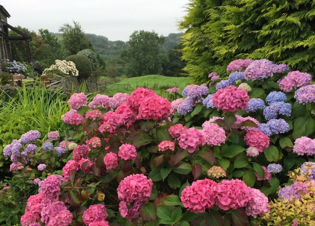 Hydrangeas overlooking a hillside with trees at the bottom