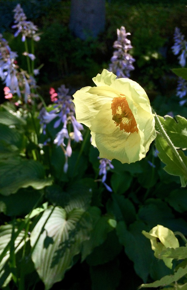 Yellow poppy lit up by sun in a shady garden