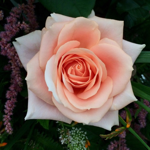 Close up of a peach rose