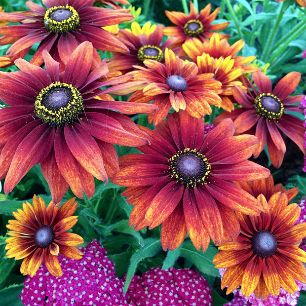 Daisy flowers in shades of yellow, orange and brown