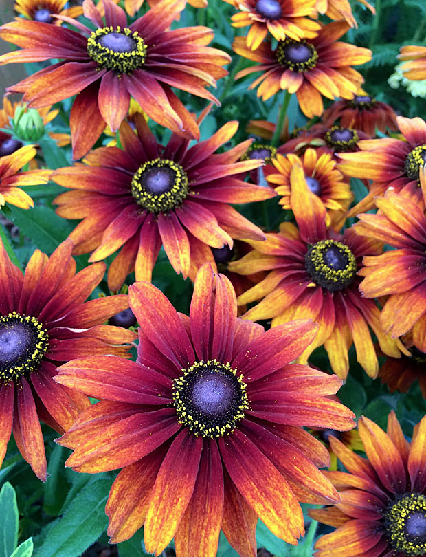 Flowers have a brown eye with a ring of yellow pollen