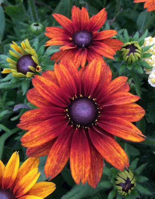 The flowers age to a deep, dusky orange