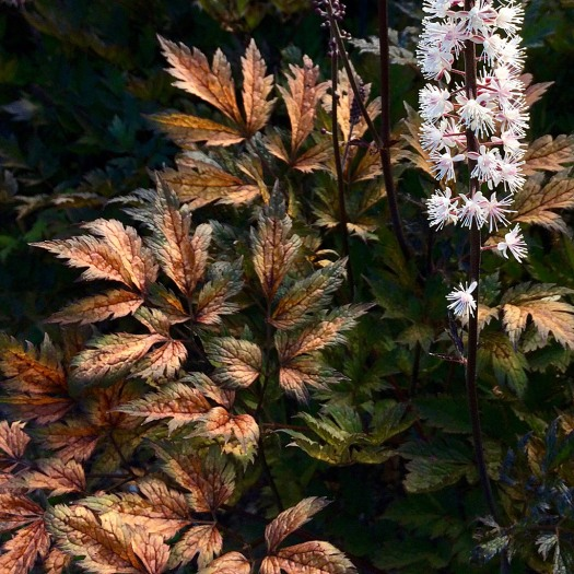 Dark leaves, with bronze autumn colour and a white flower spike