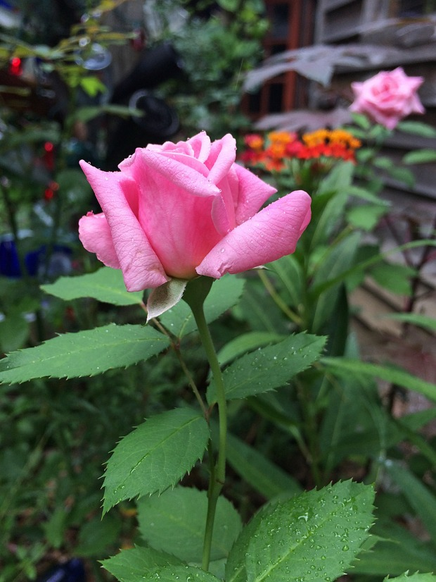 Classic pink rose bud with a long stem