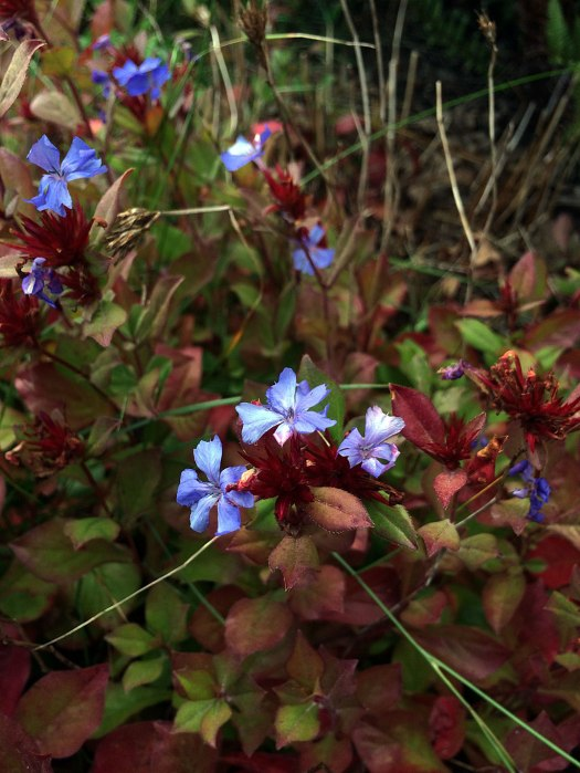 Small blue flowers with autumn foliage