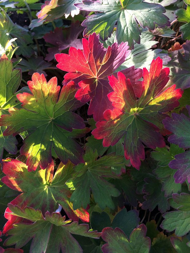 Autumn foliage of a geranium lit up by the sun