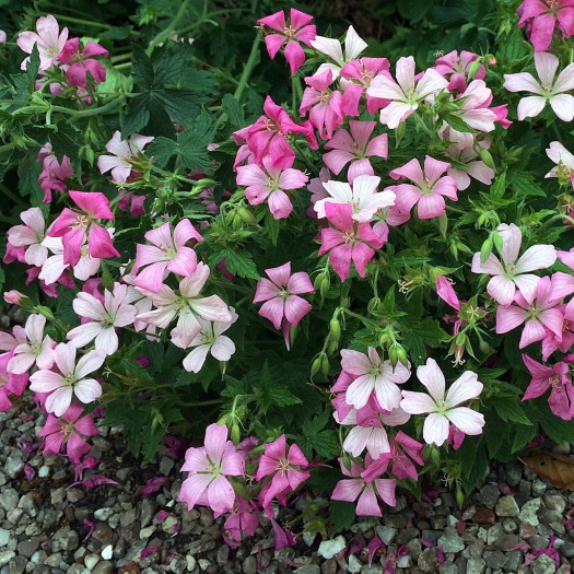 Droopy geraniums in shades of pink