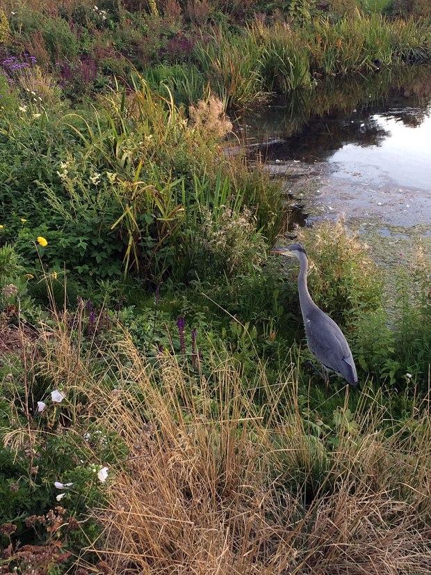 Heron patrolling the edge of a lake