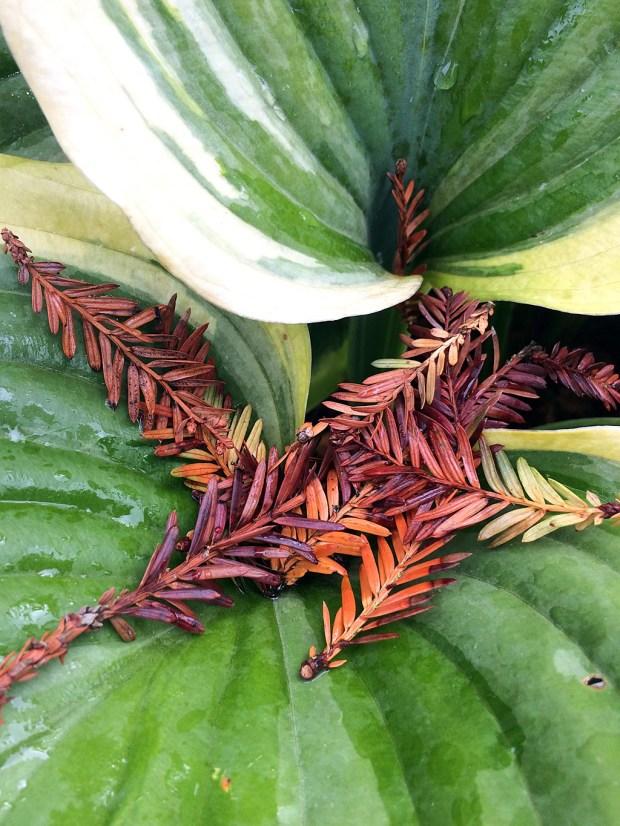 Fresh green hosta leaf with fallen brown tree leaves