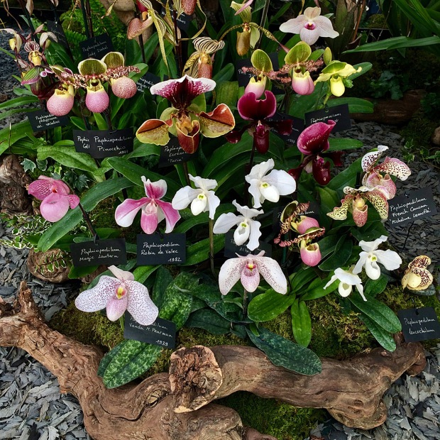 Paphiopedilum in shades of white, pink, crimson and cream