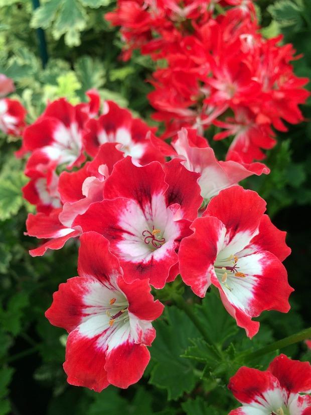Red and white decorative pelargonium