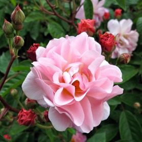 Pink shrub rose flower with many buds