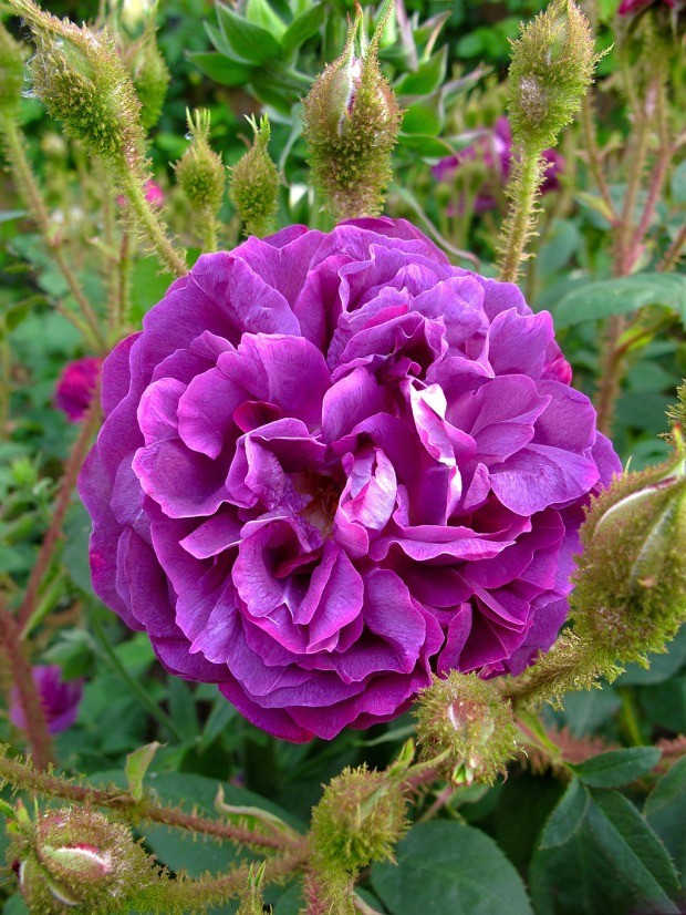 Purple rose with mossy greenery on the buds
