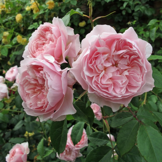 Cluster of pink roses with open rosette shapes
