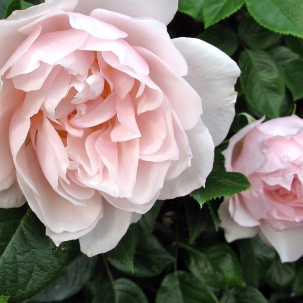 Pale pink roses with double flowers