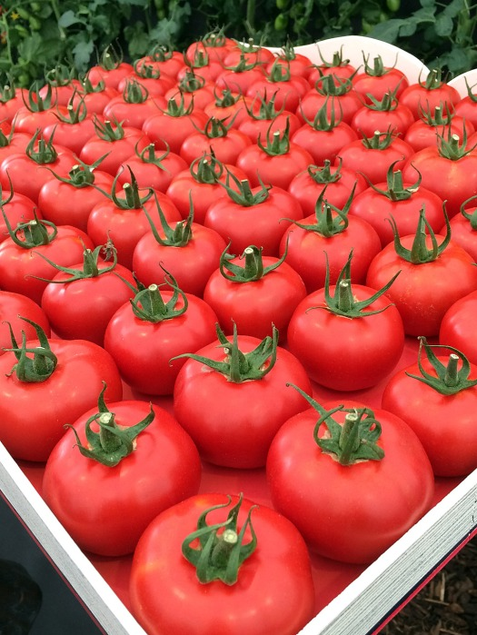 Tray of seventy two tomatoes