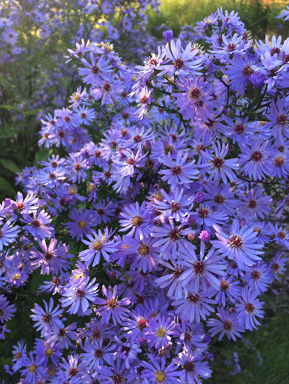 Atmospheric Flowers Blue Asters Susan Rushton