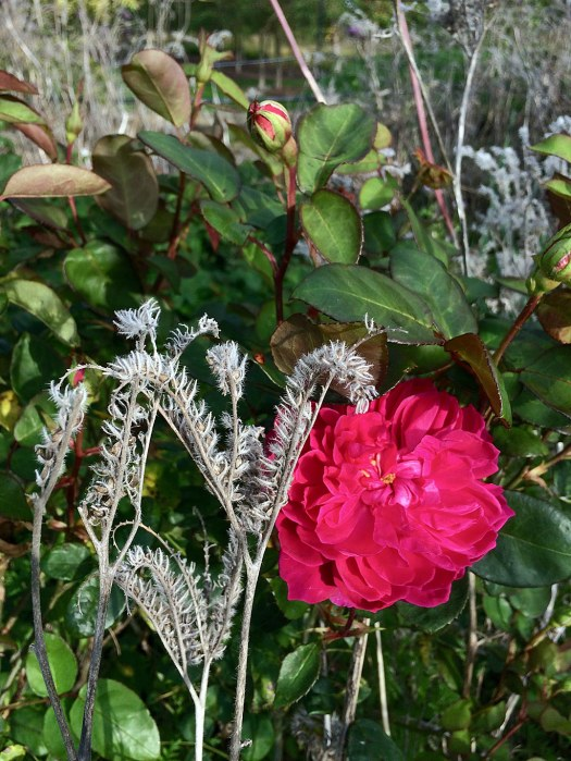 Bold pink rose in an autumn border