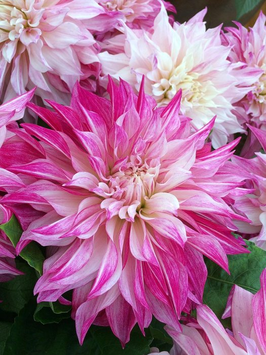 Decorative dinner plate dahlia with huge pink-splashed flowers