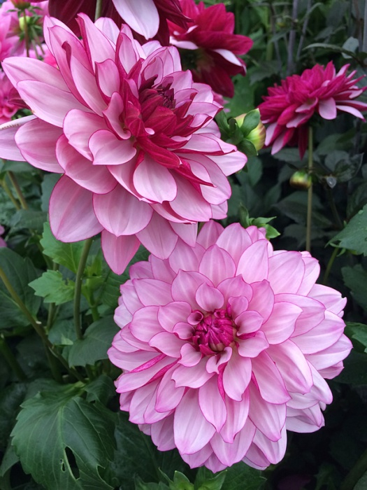 Dahlia flowers that have pale petals with deep pink reverses