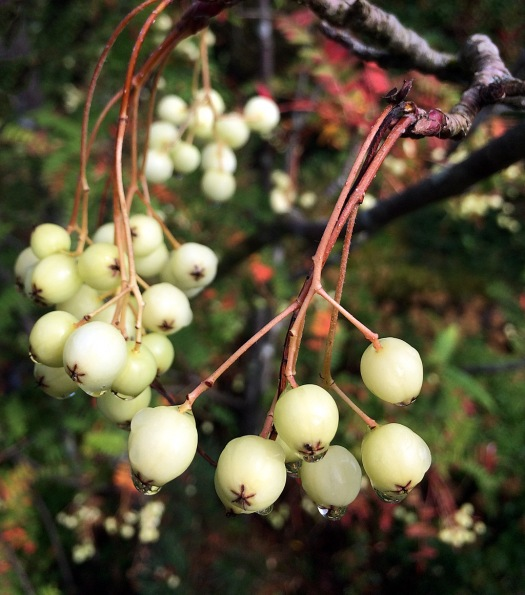 Creamy white berries hanging in clusters