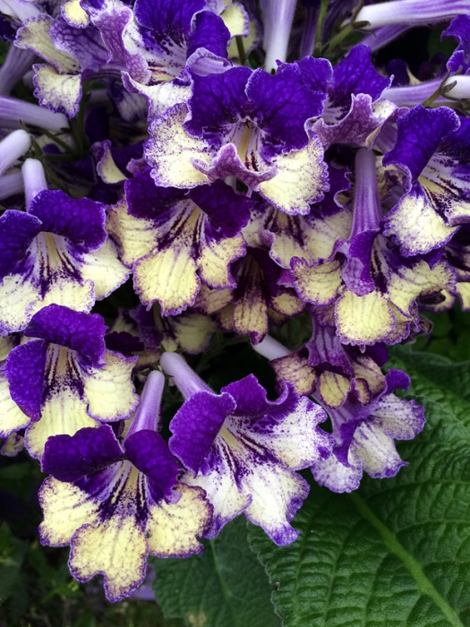 Purple flowers with creamy lower petals