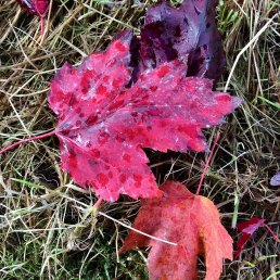 Red, purple and orange leaves on grass