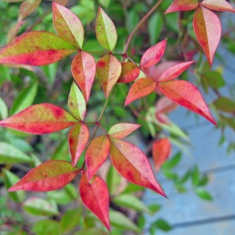 Nandina leaves with autumn colours