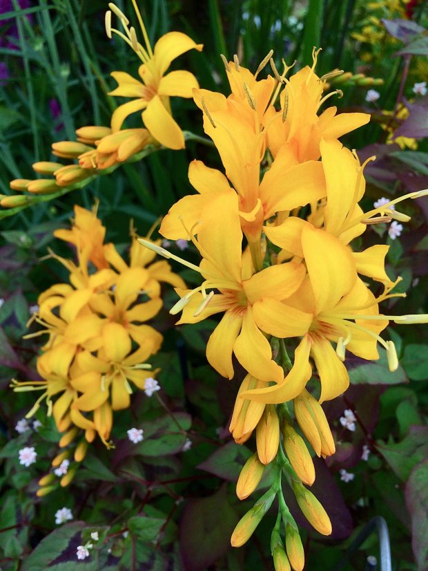 Yellow flowers with prominent stamens atop neat buds on arching stems