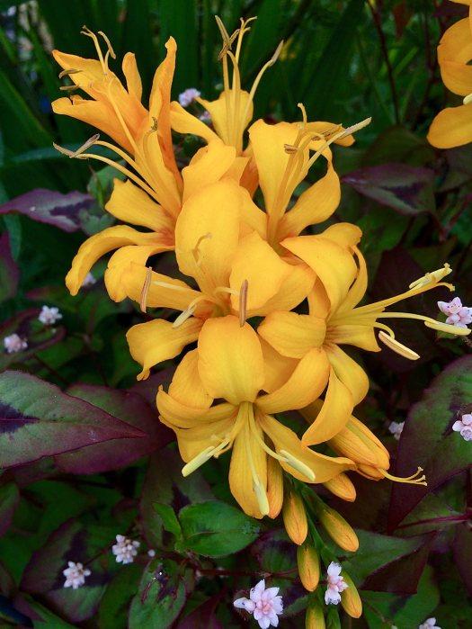 Crocosmia with rich yellow flowerss