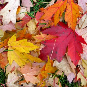 Yellow, russet and orange leaves