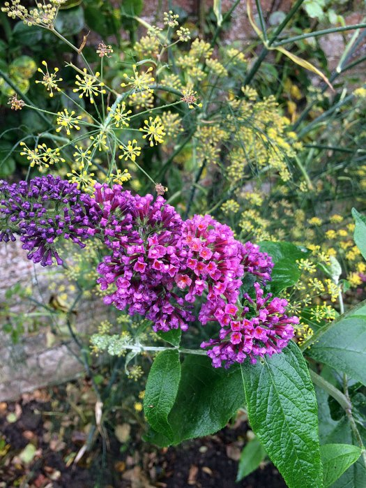 Tiny, yellow star-shaped flowers with a lilac-pink buddleia flower