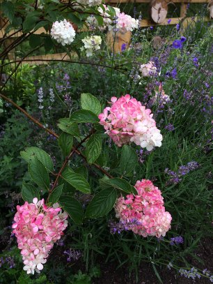 Panicle hydrangea flowers with scented lavender