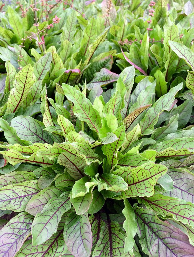 Patch of leafy salad green with red veins